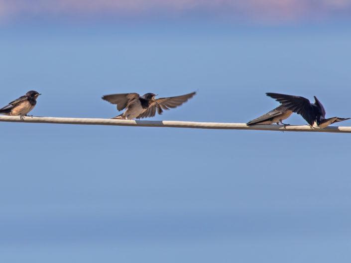 Feeded barn swallows