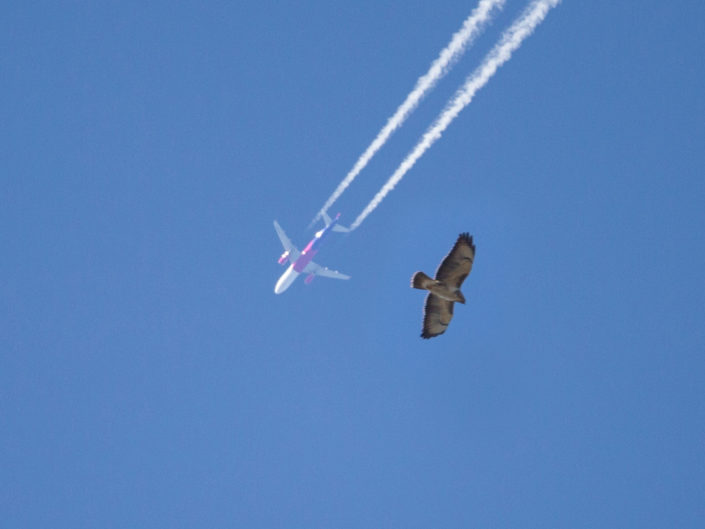 Common buzzard with airplain